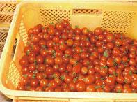 コンテナに入ったトマトの写真
